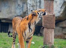 Bengal Tiger In Shanghai Safar...