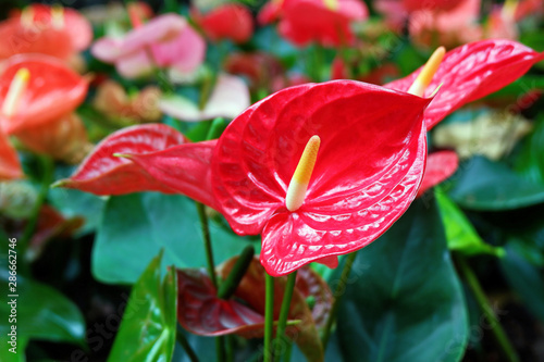 Photo Beautiful Red Anthurium Flowers Blooming in the Garden