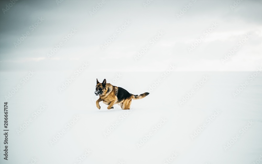 Fototapety, obrazy: Beautiful shot of a german shepherd running in the snow with a clear background