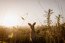 Beautiful Shot Of A Kangaroo Looking At The Camera While Standing In A Dry Grassy Field