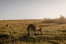 Kangaroo Eating Grass With A Blurred Background Shot From Behind