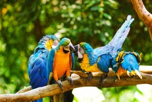 Close Shot Of Blue And Yellow Parrots Sitting On A Branch With A Blurred Natural Background