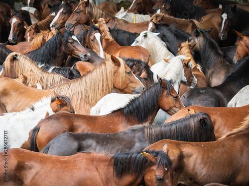 Papel de parede herd of wild horses in the rapa das bestas in A Escusa, Poio, Pontevedra