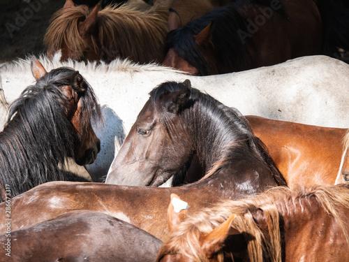 Tela herd of wild horses in the rapa das bestas in A Escusa, Poio, Pontevedra
