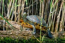 European Pond Turtle Or Emys Orbicularis On A Log