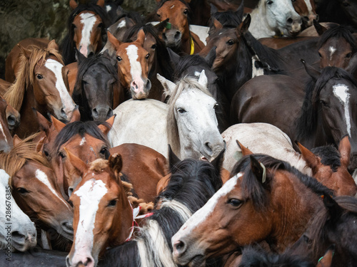 Fotografia herd of wild horses in the rapa das bestas in A Escusa, Poio, Pontevedra
