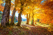 Leinwanddruck Bild - Golden Autumn forest  landscape with big vibrant trees