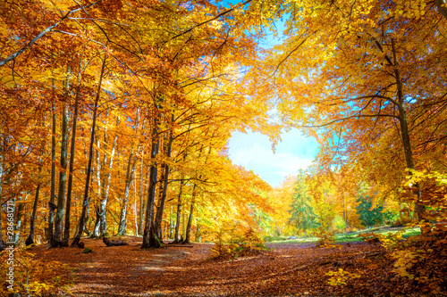 Obraz Heart of Autumn - yellow orange trees in forest with heart shape - fototapety do salonu