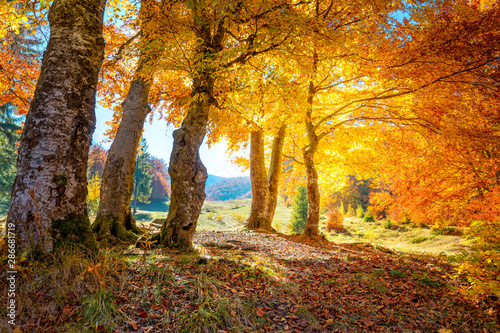 Fototapeta Golden Autumn forest  landscape with big vibrant trees obraz