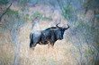 canvas print picture - gnu in kruger park south africa