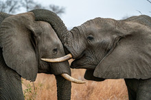Elephant Playing In Kruger Park South Africa