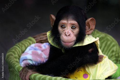 Fotomural baby chimpanzee in the basket