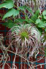 Clematis Alpina Seedhead