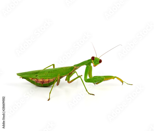 Fotografie, Obraz  green mantis is standing and looking at the camera on a white background