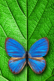 tropical butterfly sits on a green leaf. template for design.