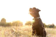 Miniature Schnauzer Dog Plays At Sunset