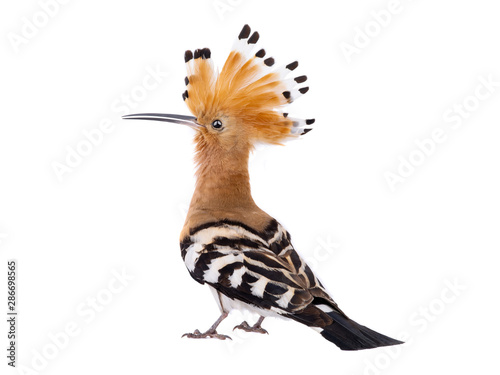 Poster Oiseau Eurasian Hoopoe (Upupa epops) isolated