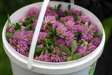 A Bucket Of Harvested Red Clover, A Medicinal Plant For The Preparation Of Medicine