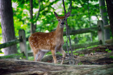 Young Curious Whitetail Deer Fawn