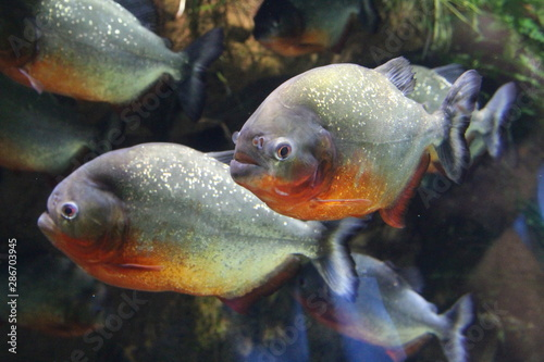 A flock of piranha fish in water. Fototapet