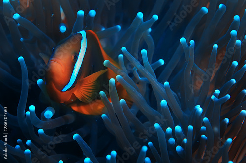 Pinturas sobre lienzo  clown fish coral reef / macro underwater scene, view of coral fish, underwater d