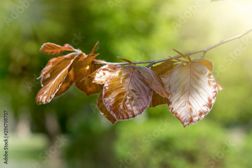 Cuadros en Lienzo Autumn leaves on branch of tree, beautiful nature in autumn