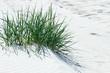 Growing grass on sand dune.