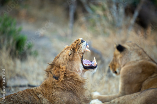Fototapety, obrazy: A large pride of lions starting to awake before a night of hunting in the bushveld of the greater kruger national park.