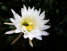 Huge Cactus Flower Blooming In...