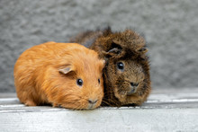 Two Adorable Guinea Pigs Portr...