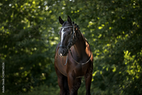 Fototapeta beautiful horse portrait in the forest obraz