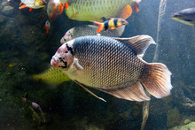 The Giant Gourami Fish Swiming, In A Fish Tank.
