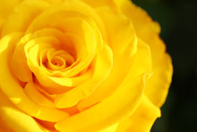 Beautiful Blooming Yellow Rose In Garden On Summer Day, Closeup