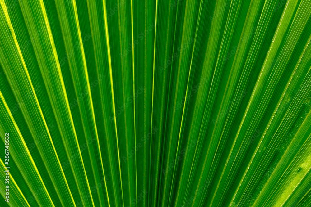 Fototapeta Palm leaf close up