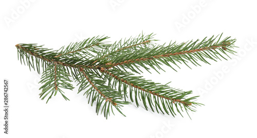 Branch of fir tree on white background Fototapeta