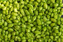 Green Ripe Hop Cones For Brewe...