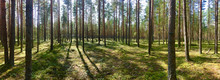 Pine Forest. The Sun's Rays Create Shadows From The Trees. The Sun Behind Tree Trunks