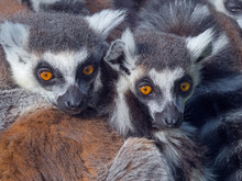 Close Up Of Ring Tailed Lemurs...