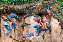 Flock Of Red And Green Macaws ...