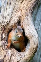 Close Up Of Red Squirrel In Tr...