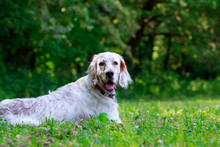 Dog Breed English Setter