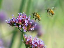 Western Honey Bee Pollinating On Verbena Flowers