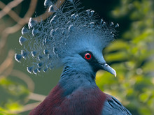 Close Up Of Victoria Crowned Pigeon