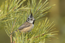 European Crested Tit Perching On Pine Tree