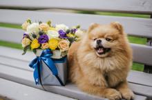Red Fluffy Pomeranian Dog On G...