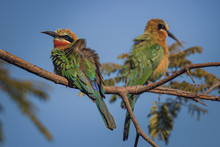 Two White Fronted Bee Eaters Perched With Retracted Neck And Ruffled Feathers
