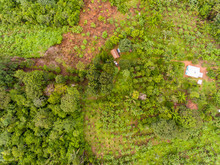 Amazon Agroforestry Parcel/Land With A Variety Of Tropical Crops A Bananas, Brazil Nuts, Copoazu, Papaya, Pineapple, Yuca And More