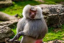 Male Baboon Sitting Along In Zoo