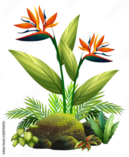 Bird of paradise and ferns on white background