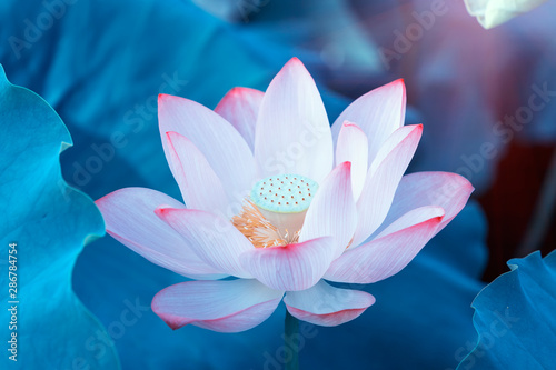 Cadres-photo bureau Fleur de lotus blooming lotus flower